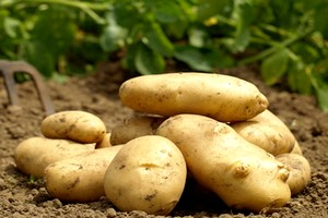 Patateste Hasat Umutlu Başladı
